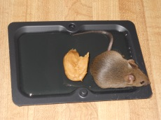 glue mouse trap
